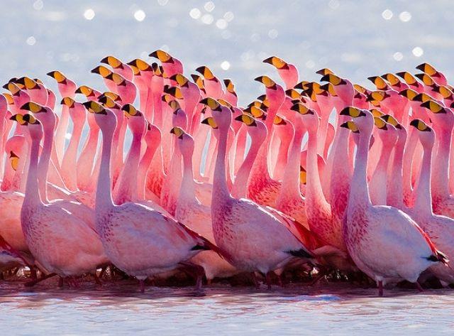 Flamingo-Laguna-Colorada