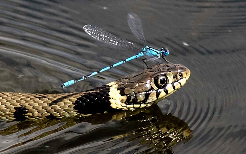 Damselfly-Snake