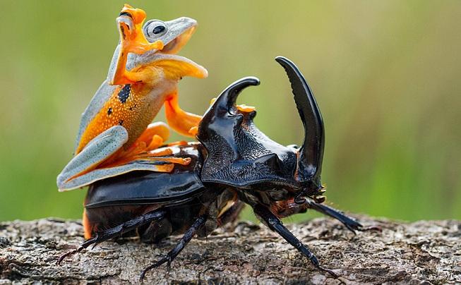 Frog-woodboring-beetle