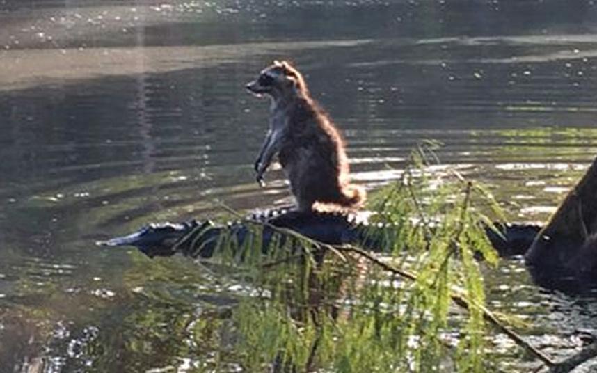 Raccon-Crocodile