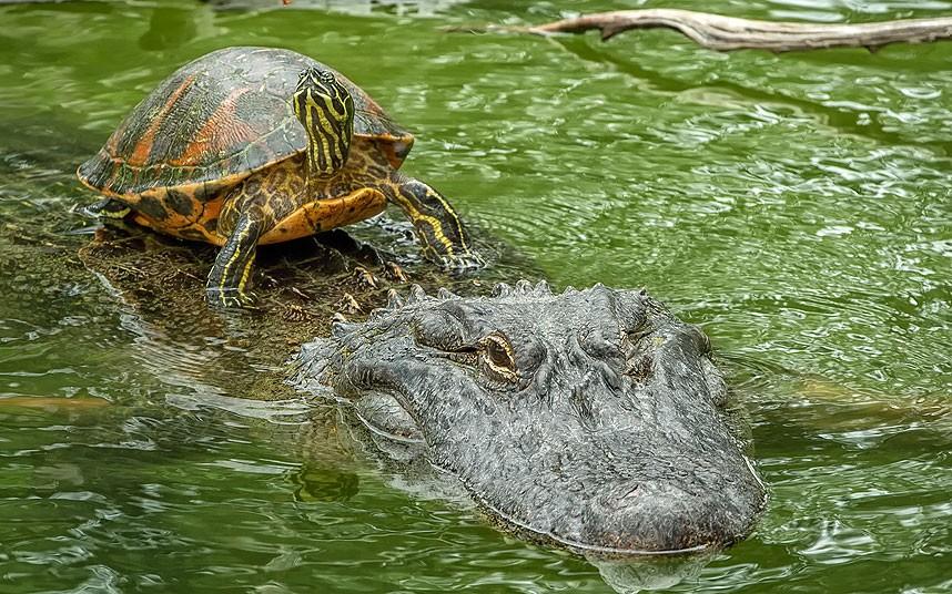Terrapin-crocodile