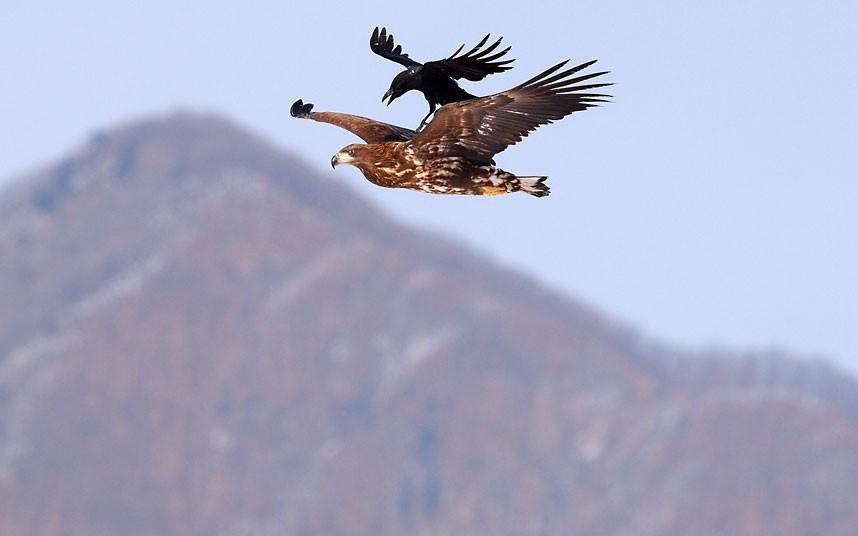 crow-eagle_1