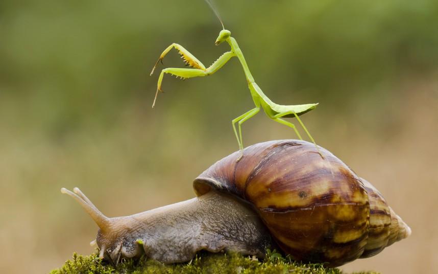 mantis-snail