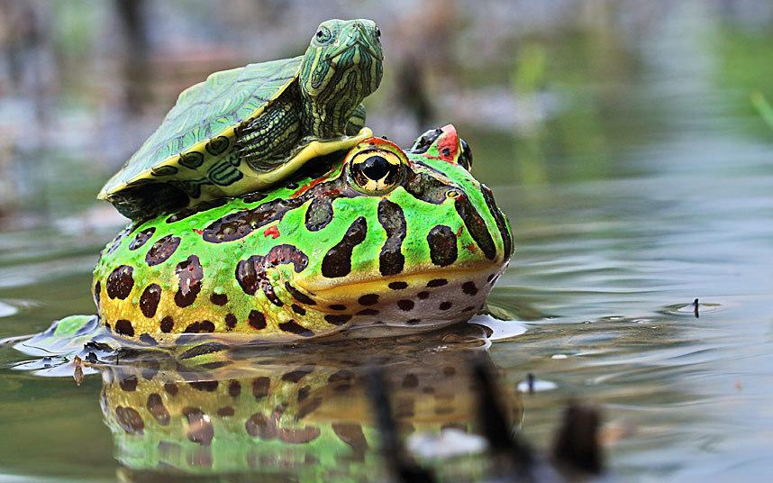 turtle-frog