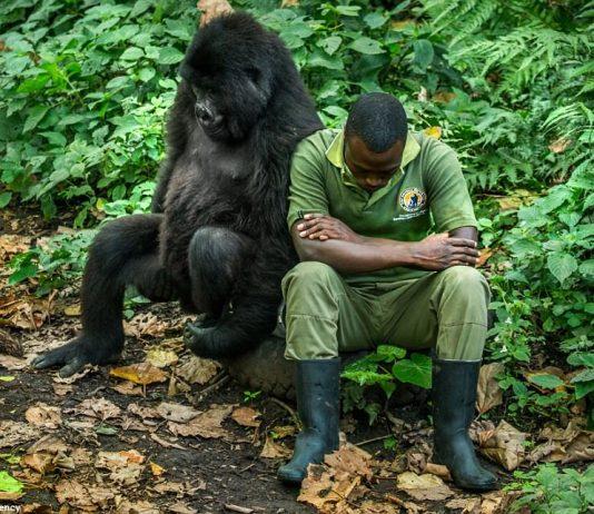 Gorilla & Man